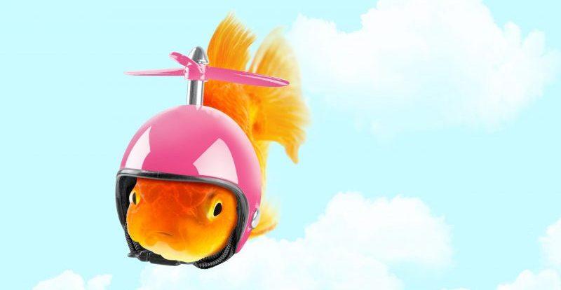 Goldfisch, der einen Helm trägt