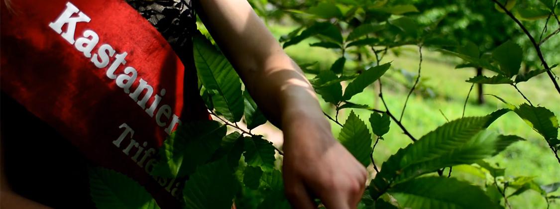Die pfälzer Kastanienprinzessin erklärt einen Kastanienbaum.